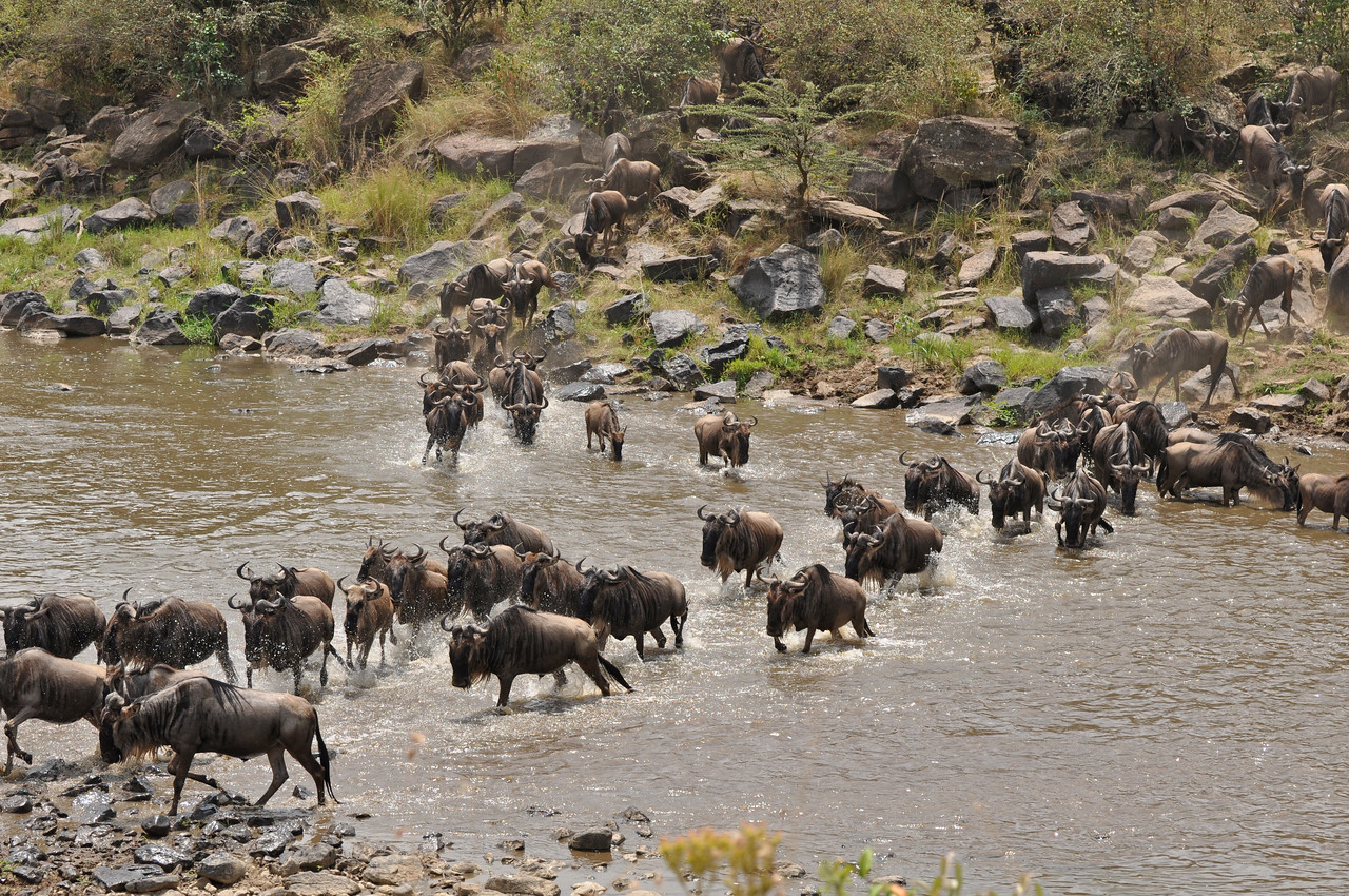 ← Wildebeests crossing the Mara River<br /> <br /> The wildebeest crossings at the Mara River. Late one afternoon, as we were returning to our campsite in the Mara Triangle, we passed one of the crossing sites. We debated whether or not to stop to see if wildebeests were about to cross. Although tired, we decided to take a quick look. Our timing was impeccable. We pulled up beside the river, where there were no other vehicles parked and, to our immense good fortune, around five hundred wildebeest and zebra chose to cross at that exact moment. They entered the river directly across from us and headed our way, causing us a moment of panic when we thought that we had parked in their path. Luckily, they left the river directly in front of the Land Rover, and we had a spectacular view of the crossing. The day before, we had waited half an hour to watch roughly three thousand topi, zebra and wildebeest cross the river.