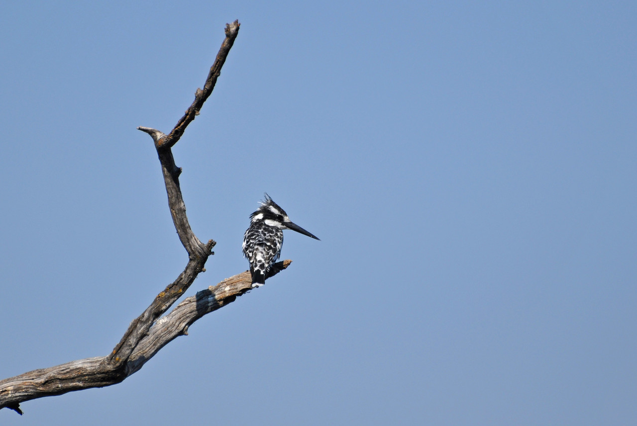 Pied kingfisher<br /> <br /> We loved to watch pied kingfishers hovering over water before they dove down vertically, bill-first, to capture fish. These charming little black-and-white birds, with their long black bills, were such a treat to watch as they hunted from the air.