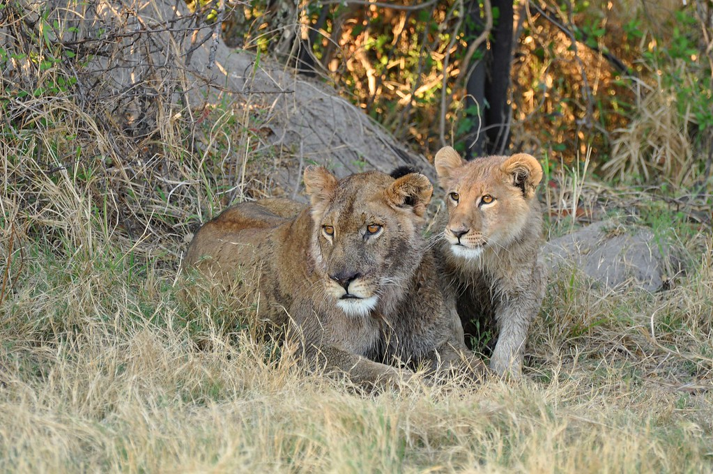 Lioness and cub near Third Bridge in the Moremi Game Reserve  We came across a lioness and cub sitting next to a buffalo that the big cat had wounded. While it was disturbing to watch and hear the buffalo suffering, it was priceless to watch the interaction between the lioness and her young cub.