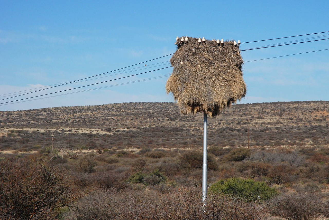 Sociable weaver nest beside the highway<br /> <br /> At Britstown, we left the N12 and turned onto the N10 towards Prieska, some 123km to the north. On this stretch of highway, we saw very few other vehicles. We passed many telephone poles that bore huge sociable weaver nests. These nests on the poles are a unique feature of this arid northern region, where there are few trees for these birds to build their nests. Dozens of individuals combine to create huge nests that occasionally bring trees (and poles) crashing down. Robert, Graham and I began studying the shapes of the weaver nests, and came up with a T-shirt, glove, wheat sheath, Santa Claus hat, shoe, lamp with a shade, mushroom, a map of the South African continent, and a snowman.