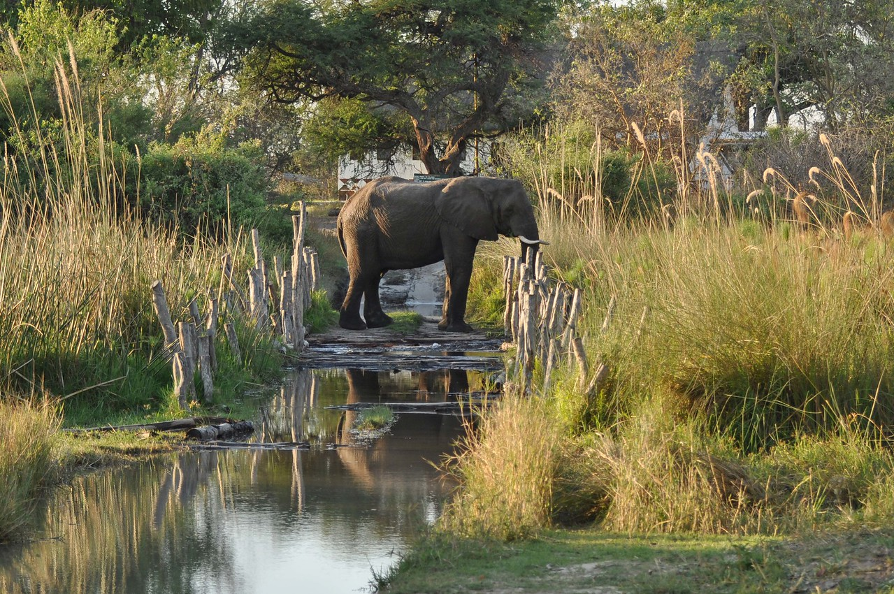 Elephant on Third Bridge in the Moremi Game reserve, Botswana<br /> <br /> The elephants - we never tire of them. We encountered many on this trip, including this cheeky one that was blocking our route across Third Bridge in the Moremi Game Reserve.