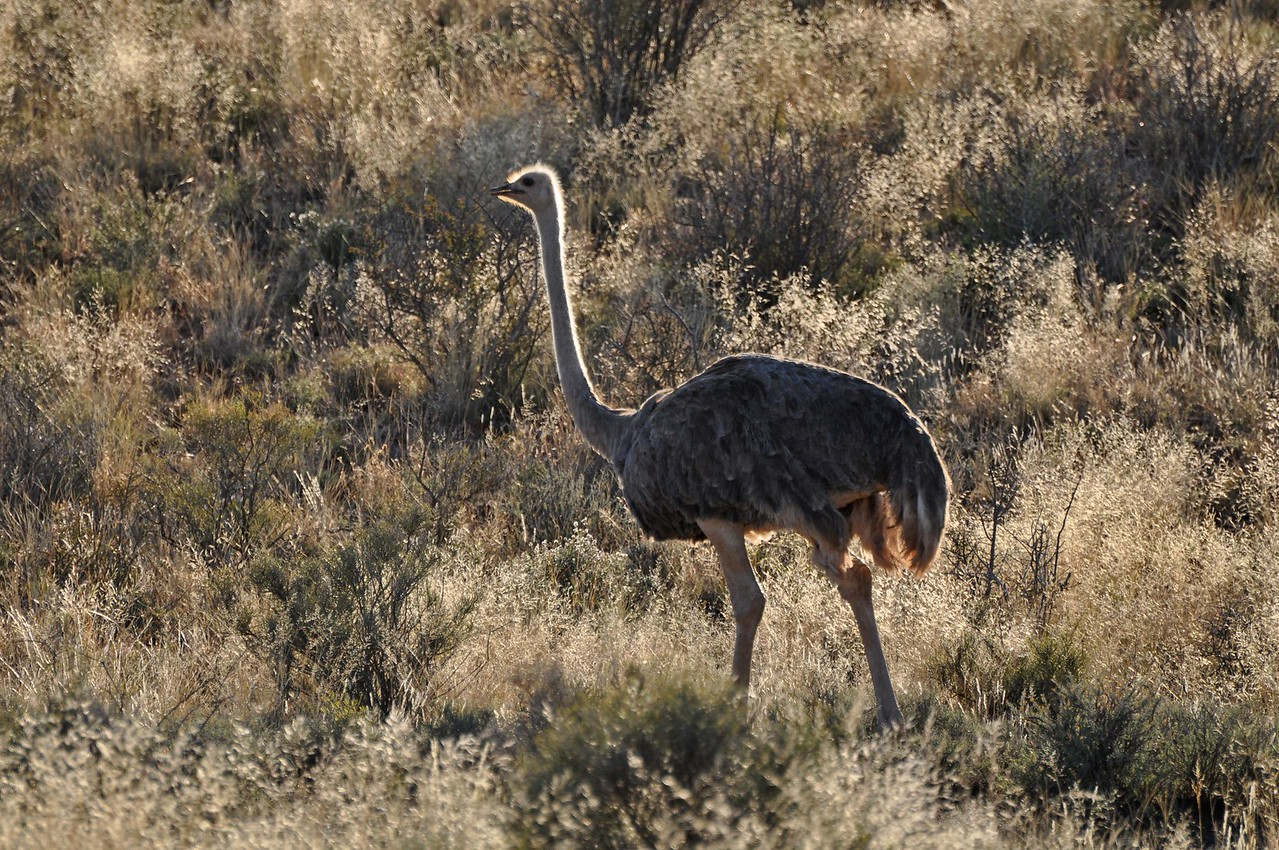 Ostrich in Karoo National Park<br /> <br /> We left Karoo National Park shortly before 8:30am, pleased to have spent another night in that wonderful park.