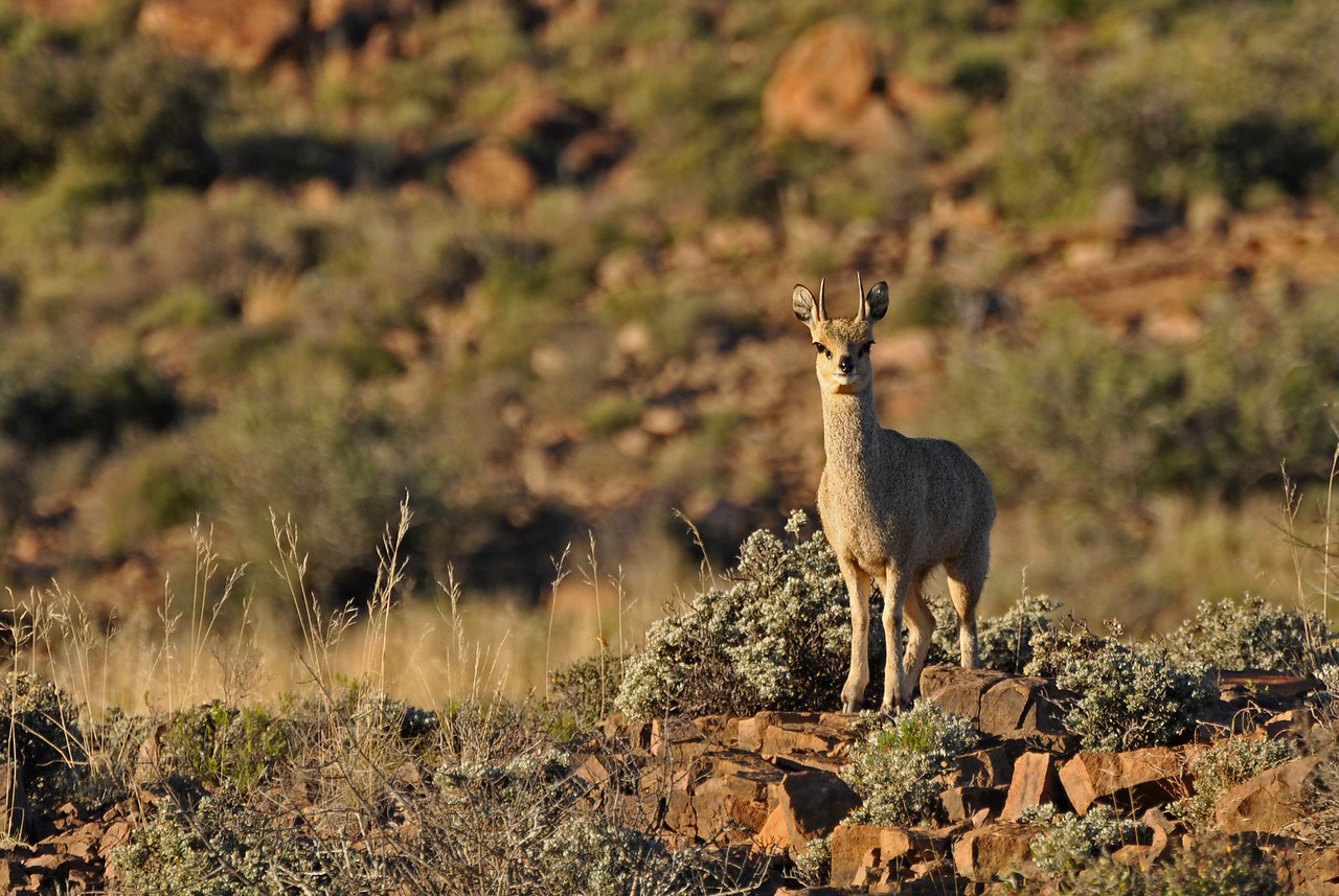 Klipspringer on the Klipspringer Pass<br /> <br /> Klipspringer are uniquely adapted for life among cliffs and granite outcrops, with downward pointing hooves that make them appear to be tip-toeing, but give them sure-footed agility on rocks.