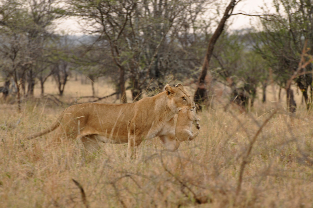 ← Lioness and cub in the Serengeti near Seronera<br /> <br /> We watched as a lioness carried a tiny cub in her mouth. She would stop every few metres and very delicately reposition the cub in her mouth.