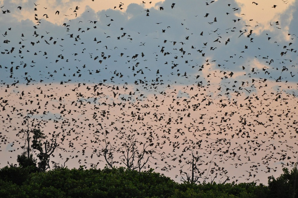 Bats in Kasanka National Park at dusk  In Kasanka National Park in Zambia at sunset - the sight of ~ 8 million straw-coloured fruit bats flying overhead as they left their day roosts to feed. The bats filled the sky for as far as we could see in every direction for over twenty minutes. We took lawn chairs and a bottle of wine and sat amongst the phragmites and papyrus and wondered at the spectacle. We have seen the wildebeest migration in the Mara/Serengeti, and the bat migration was equally spectacular. Well worth a visit to Kasanka!