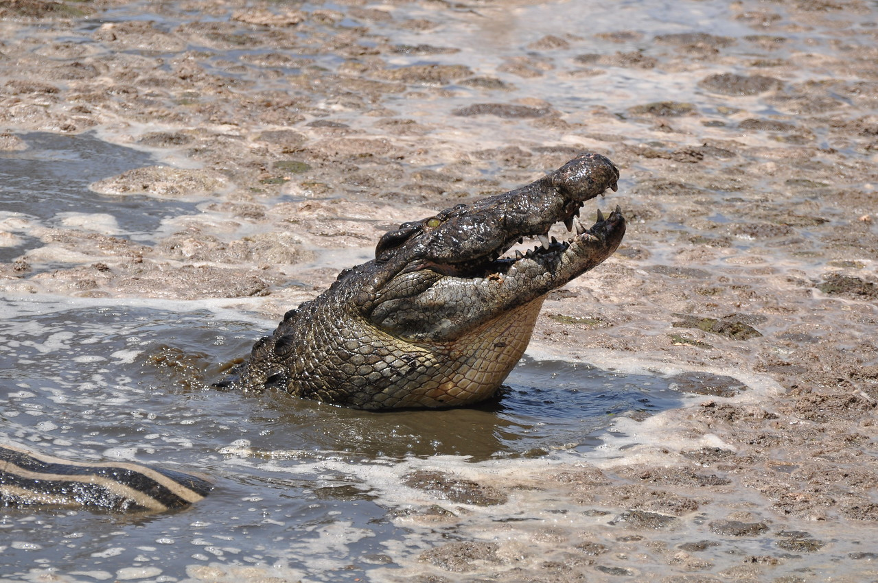 A croc with the remains of a zebra in the Grumeti River, Western Corridor, Serengeti →<br /> <br /> One morning, in the Western Corridor, we sat overlooking a pool in the Grumeti River and watched as two enormous crocs ripped a zebra to shreds. A rather unsettling start to the day!