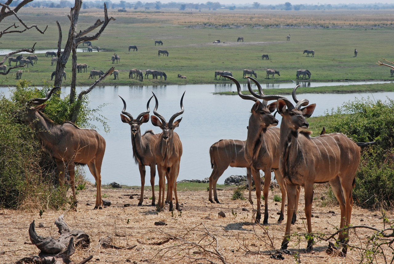 More highlights<br /> <br /> ← The Chobe Waterfront<br /> <br /> Our first view of the Chobe River and its floodplain - thousands of zebras and impalas.<br /> The leopard encounter at Nxai Pan.<br /> Being lulled to sleep by the grunting and snorting of hippos, the roaring of lions, the whooping of hyenas, the singing and drumming from Khwai Village…