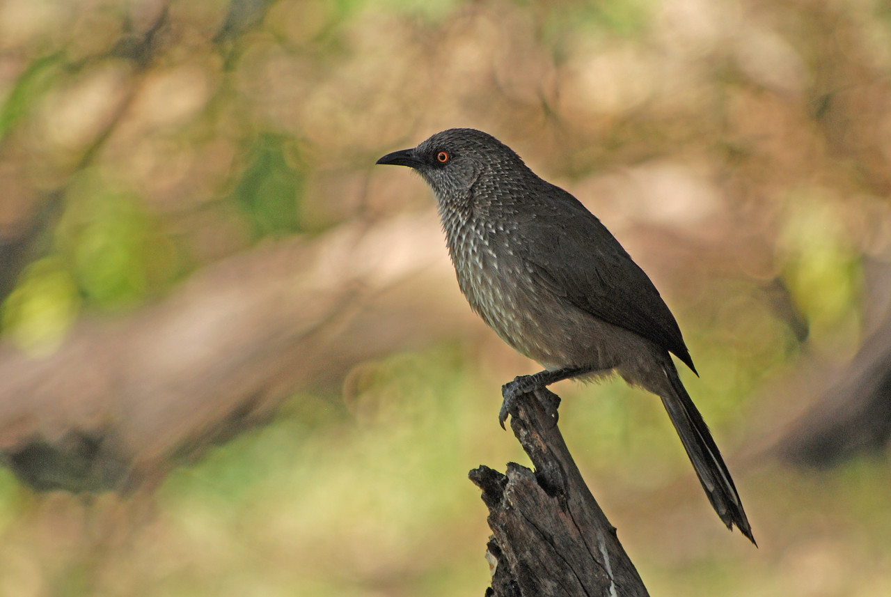 An arrow-marked babbler<br /> <br /> We rose at 6:00am, packed the car and were at breakfast when the dining room opened at 7:00am. Outside the dining room, we were greeted by a large flock of arrow-marked babblers, which are pretty birds with arrow-like streaks. However, as their name suggests, these birds are best known for their call. It begins with an excitable whirring sound started by one bird, which is then taken up by the rest of the flock until it resembles loud, hysterical giggling. Quite entertaining!