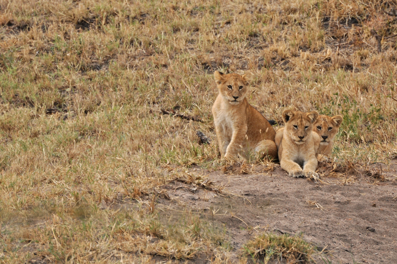 Three of the cubs watching the buffalo kill →<br /> <br /> The lionesses that killed the buffalo had five cubs, and it was amusing to watch the cubs with their heads cocked to one side, watching the kill with great interest.