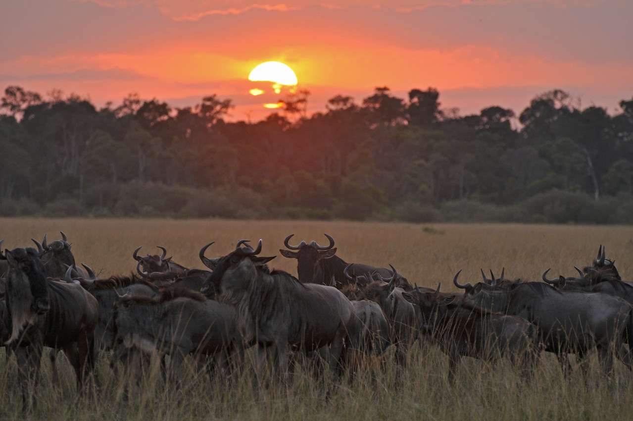 ← Sunrise with the wildebeests in the Mara Triangle, Kenya<br /> <br /> The countless breathtaking sunrises, which made getting up so early so worthwhile.
