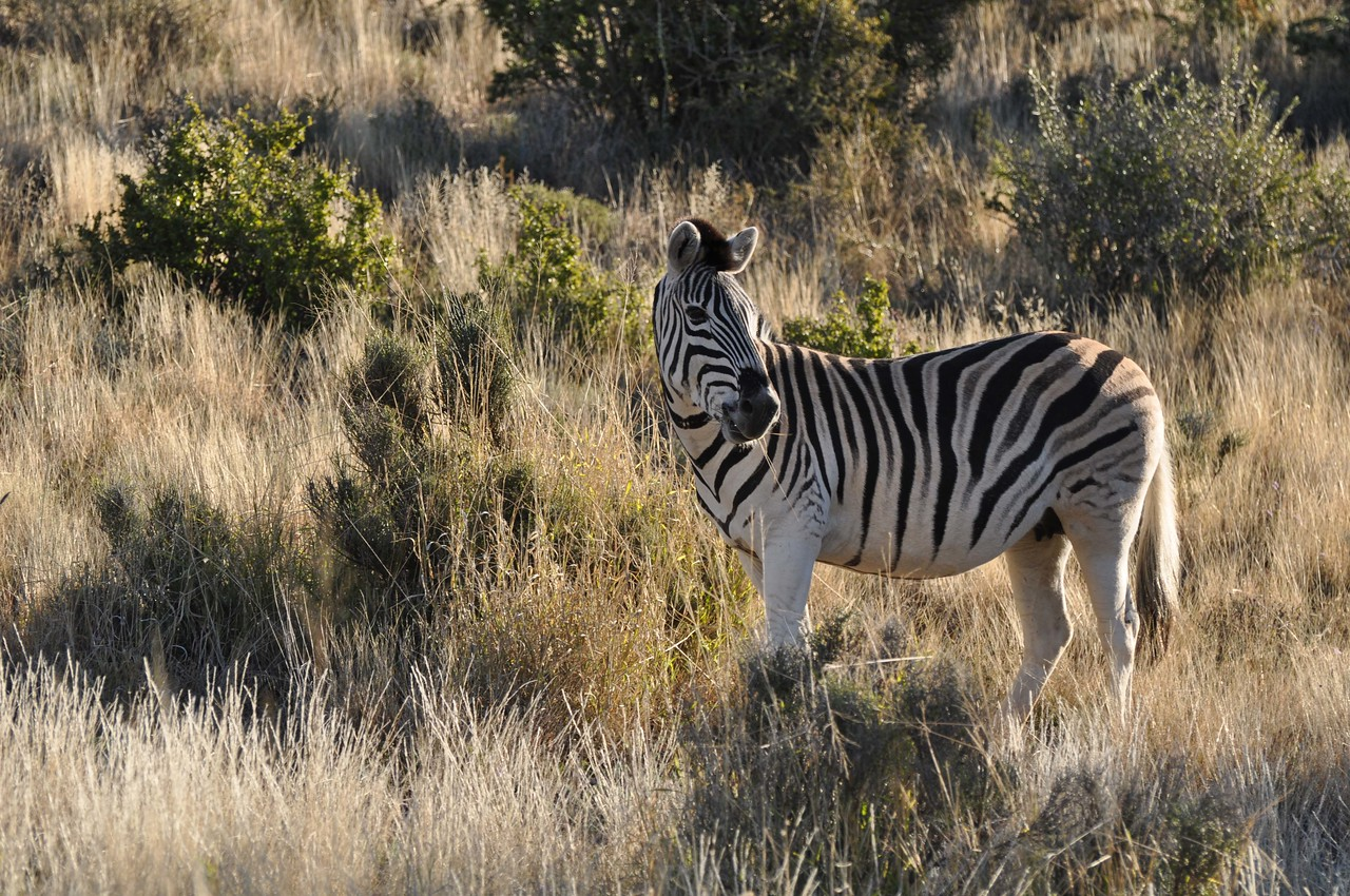 """Cape mountain zebra in Karoo National Park<br /> <br /> We saw a dazzle of the endangered Cape mountain zebra, kudu (magnificent antelope, with spectacular spiral horns, that are the emblem for South Africa's national parks), springbok (very pretty and delicate antelope, and South Africa's national emblem) and, perhaps not surprisingly given the name of the pass, a klipspringer (""""rockjumper"""" in Afrikaans)."""