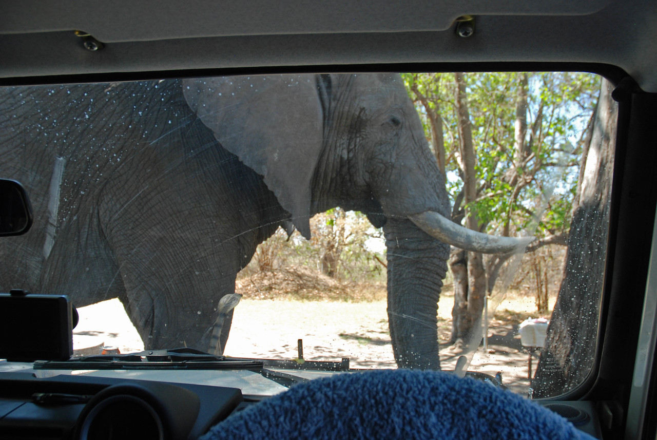 The elephant and the cobra (on the hood of the vehicle) at Third Bridge campsite - one of the best encounters of the trip<br /> <br /> <br /> MORE HIGHLIGHTS<br /> <br /> One day, on our campsite at Third Bridge, we were cooking our midday meal when we saw an enormous bull elephant approaching. There was nothing unusual about this, as elephants liked to feed on the sausage tree on the site. There was a steady stream of elephants to the site both day and night, and we enjoyed these close encounters. We would simply keep a wary eye on any elephant that approached and, if it came too close, we would retreat to the Land Rover. <br /> <br /> On this occasion, the elephant fed quite happily on the far side of the sausage tree as we prepared our lunch some 20m away. Eventually, as the elephant moved around the tree, it started to get a little too close and, after hastily gathering up a few food items, we leapt into the front seat of the vehicle. To our surprise, rather than continuing to feed on the sausage tree, the elephant headed straight for the vehicle. Alarmed, we looked to see what was attracting its attention and, to our dismay, we noticed that we had left the bag of garbage hung on the front bumper of the Land Rover. We sat mesmerized as the massive elephant came up to the hood of the Land Rover, its tusks less than a metre from Robin, who was in the passenger seat. To our astonishment, it paid no heed to the garbage whatever, but instead wrapped its trunk around the rubber cobra that we had left on the hood of the vehicle. Our son, Graham, had given us the very realistic cobra to help frighten off the baboons and monkeys that can be such a nuisance on the campsites in Botswana. Robert and I sat paralyzed as the elephant carefully smelled the cobra, resting its trunk and enormous tusks on the hood of the Land Rover. Thankfully, the elephant eventually moved off, leaving the cobra and vehicle unscathed and the garbage untouched. It was a memorable encounter!