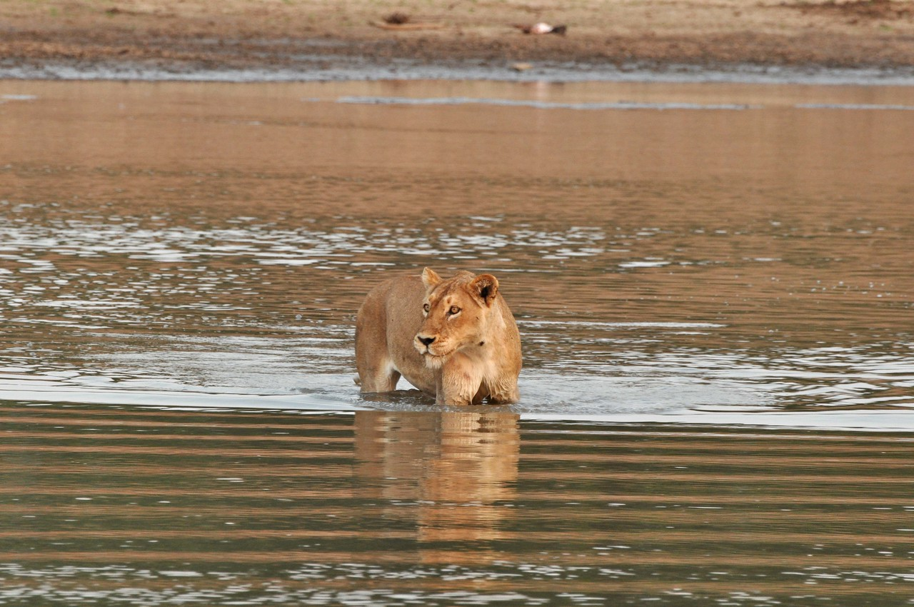 """Lioness stalking buffalo from the Luangwa River, Zambia<br /> <br /> <br /> OVERALL THOUGHTS ON THE TRIP<br /> <br /> Zambia:<br /> <br /> Other than a brief stop in Victoria Falls in 2008, this was our first visit to Zambia. The game viewing in Zambia was some of the best that we have experienced. The guiding was exceptional, and Old Mondoro Bush Camp in Lower Zambezi National Park and Kaingo Camp in South Luangwa National Park were outstanding. Unfortunately, driving in Zambia was a nightmare, and we did not feel safe on the highways (see """"lowlights"""" on page 8 for details).  If we visit Zambia again, and I hope we are lucky enough to do so, we would likely fly into camps rather than self-driving. In fairness to the Zambian highways, our mistake may have been in putting our visit to Zambia after our drive through Namibia and Botswana, when we had already been on the road for more than two weeks. Had we traveled to Zambia first, when we were fresh, our impression of self-driving in the country may have been more favourable."""
